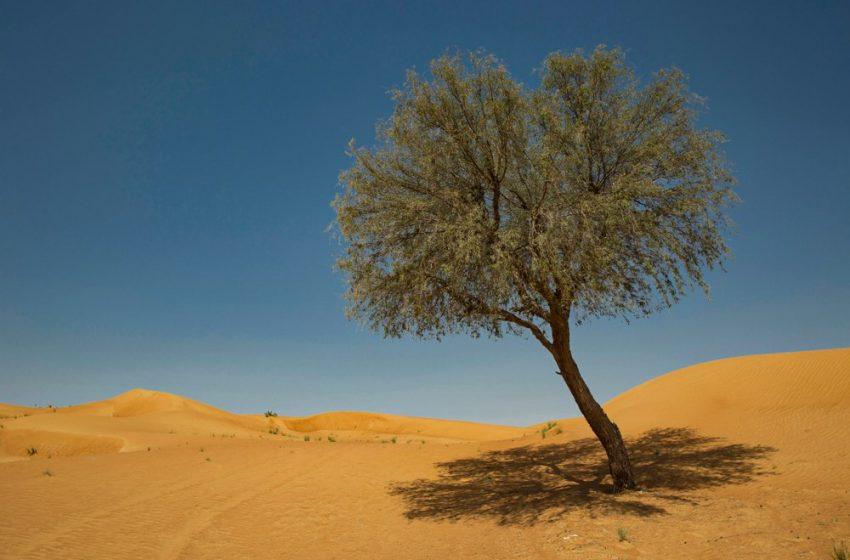 Ghaf trees enhance sustainability, spread spirit of tolerance at Expo 2020 Dubai